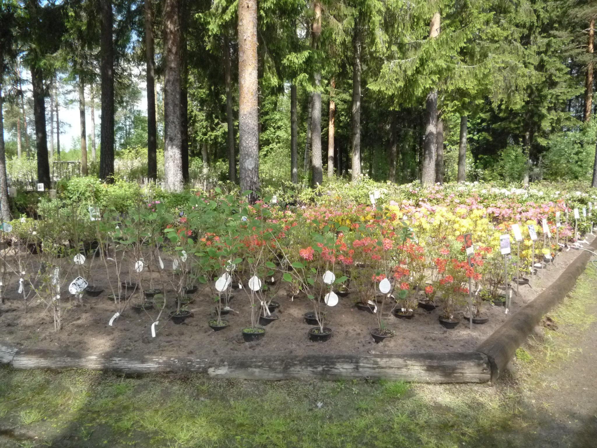 Azalea-Rhododendr